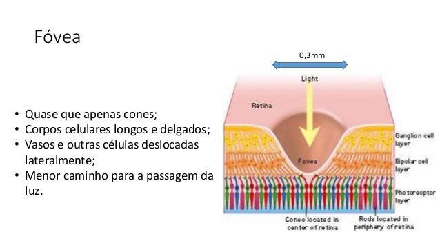 Fóvea 0,3mm • Quase que apenas cones; • Corpos celulares longos e delgados; • Vasos e outras células deslocadas lateralmen...