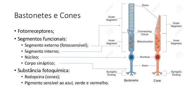 Bastonetes e Cones • Fotorreceptores; • Segmentos funcionais: • Segmento externo (fotossensível); • Segmento interno; • Nú...