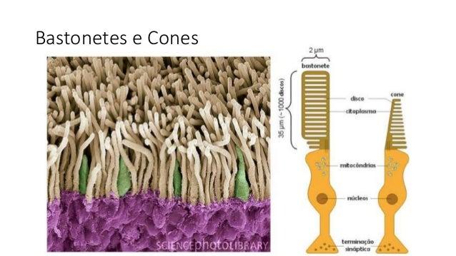 Bastonetes e Cones