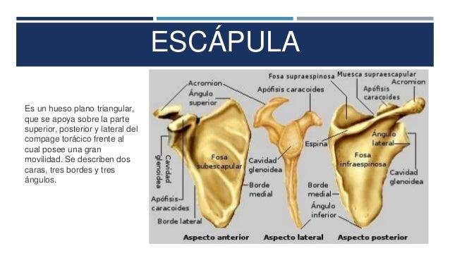 Presentación huesos del hombro