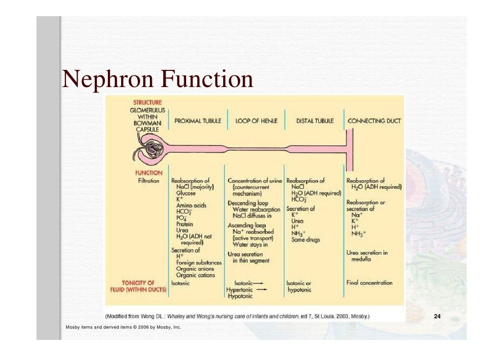 Review Anatomy And Physiology Kidney