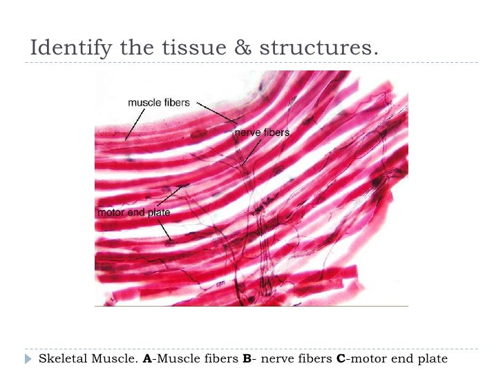 review sheet 17 histology of nervous tissue