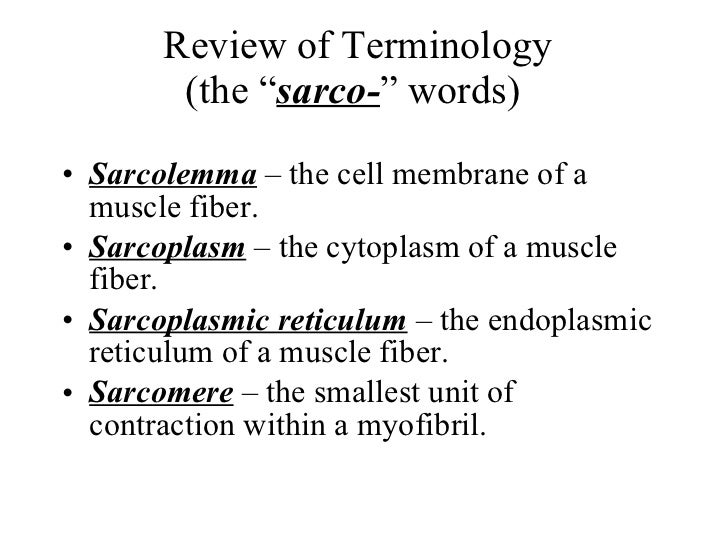 "Review of Terminology (the "" sarco- "" words)  <ul><li>Sarcolemma  – the cell membrane of a muscle fiber. </li></ul><ul><li..."