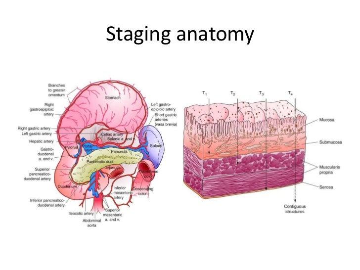 Pelvic lymph node anatomy