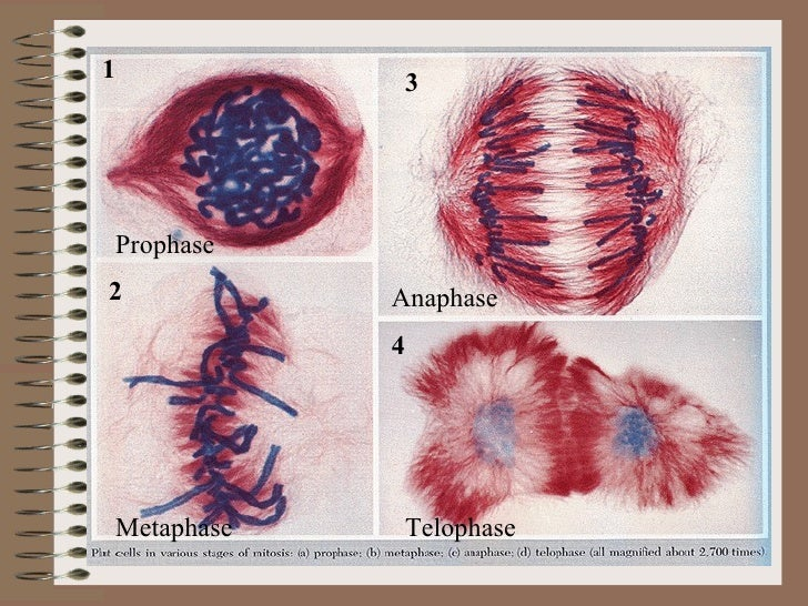 Review of Mitosis Prophase Metaphase Anaphase Telophase 1 2 3 4