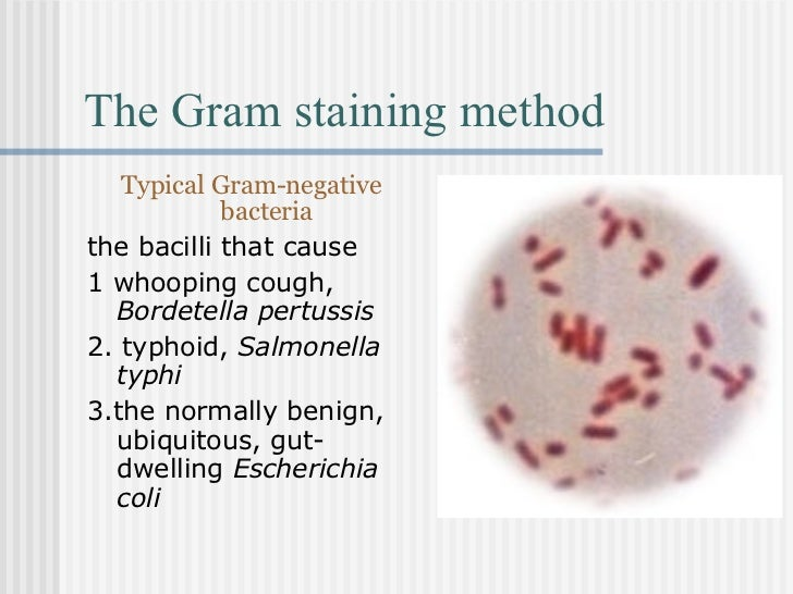 gram staining essay gram staining from wikipedia, the free encyclopedia a gram stain of mixed staphylococcus aureus (staphylococcus aureus atcc 25923, gram-positive cocci, in purple) andescherichia coli (escherichia coli atcc 11775, gram-negative bacilli, in red), the most common gram stain reference bacteria gram.