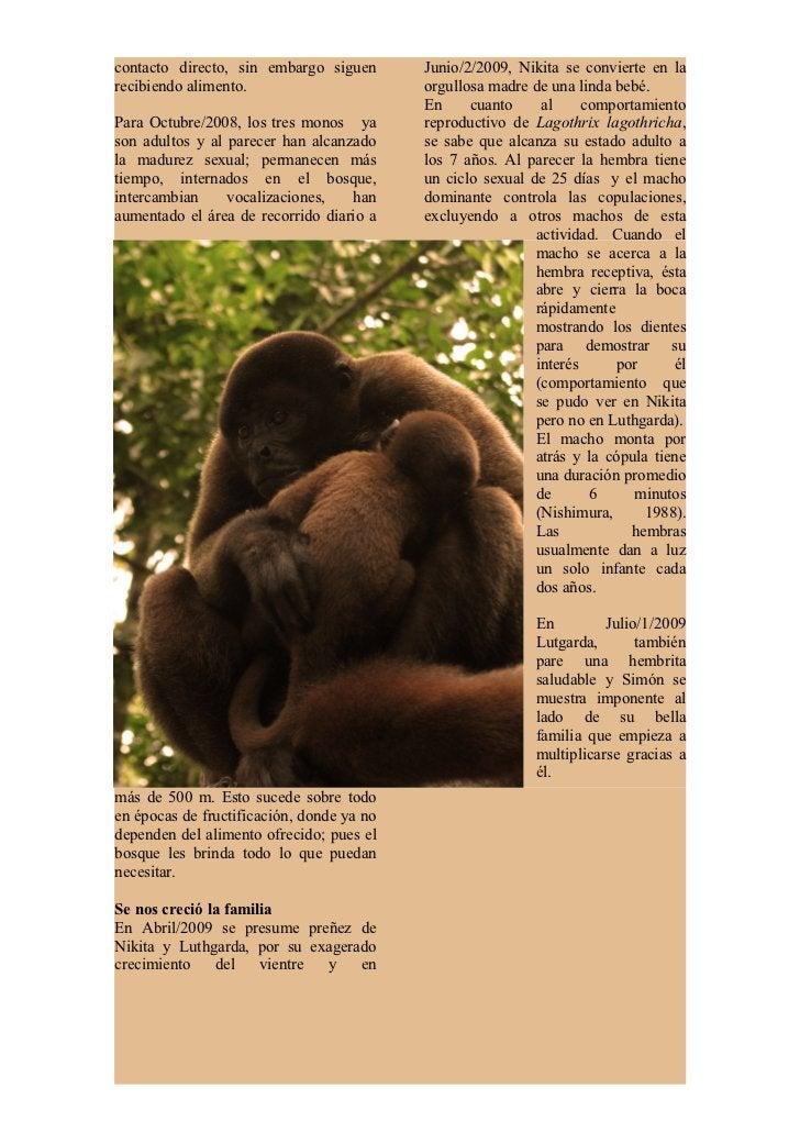 Simón empieza a tener actitudes másofensivas con el grupo de monos deotras especies, principalmente con elmacho alfa de la...