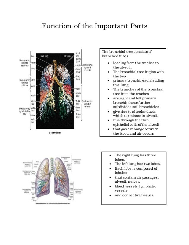 Lungs grade 4 important parts of the lungs 17 ccuart Images