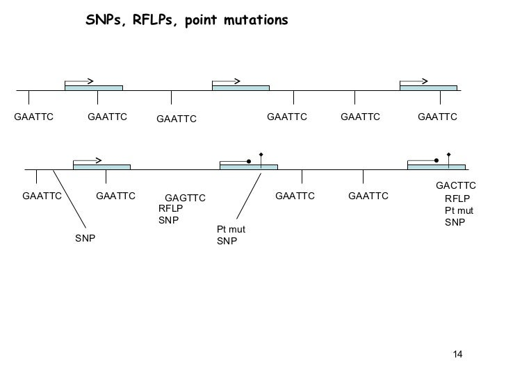 snps and rflps relationship