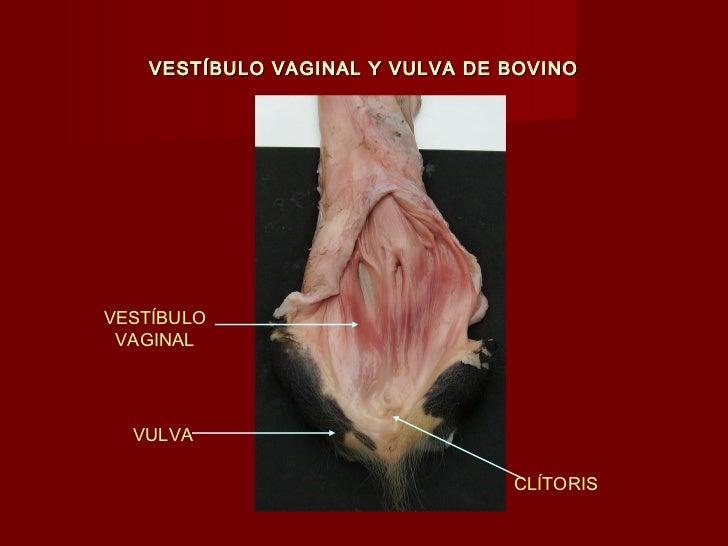 Dorable Anatomía Genital Canina Cresta - Anatomía de Las Imágenesdel ...
