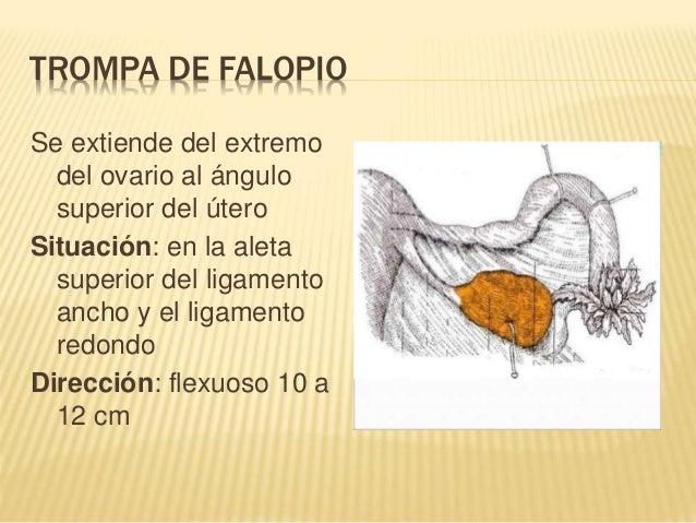 ovario y trompas de falopio