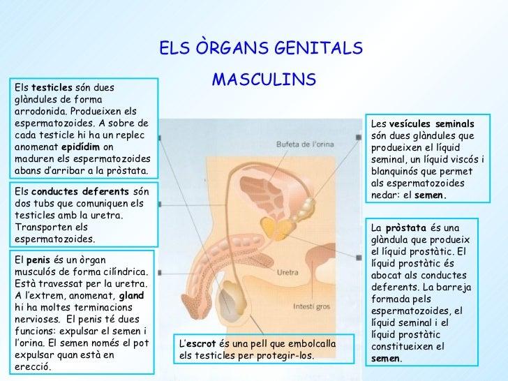 Organs sexuals femenins