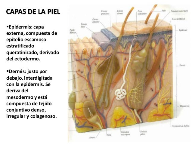 Anatomia del Sistema Tegumental
