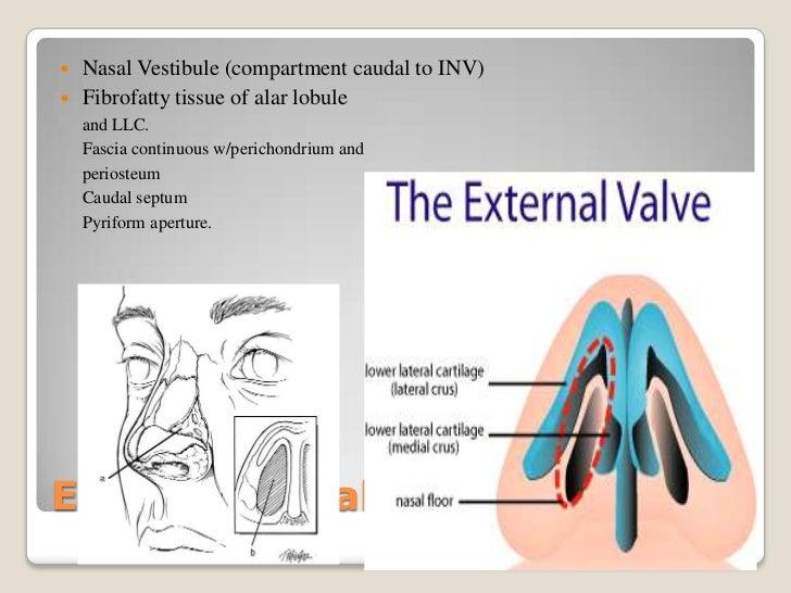Rhinoplasty Nose Anatomy
