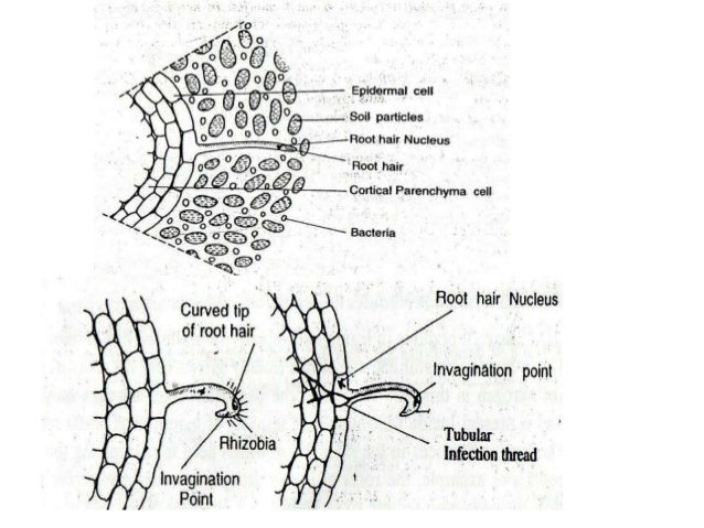 Rhizobium ppt bacteria enters into it 19 ccuart Choice Image