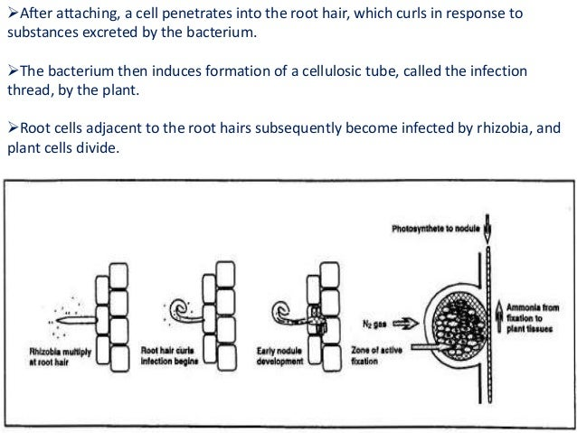 Rhizobium ppt root nodule bacteroid 65 ccuart Choice Image