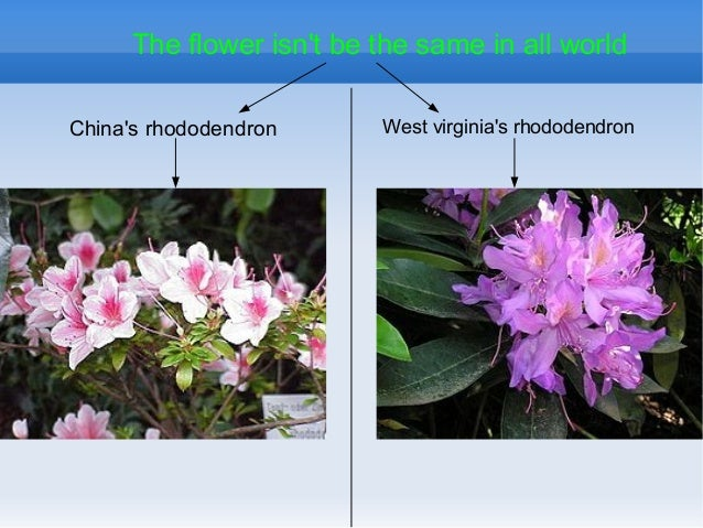 The flower isn't be the same in all world China's rhododendron  West virginia's rhododendron