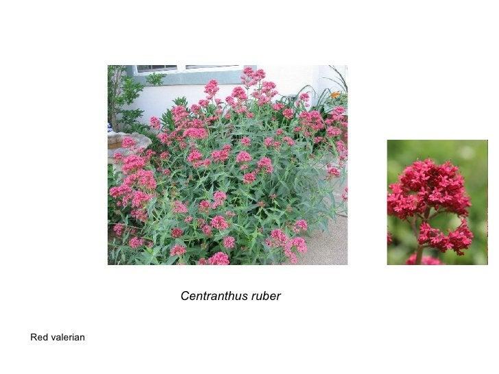 Centranthus ruber Red valerian