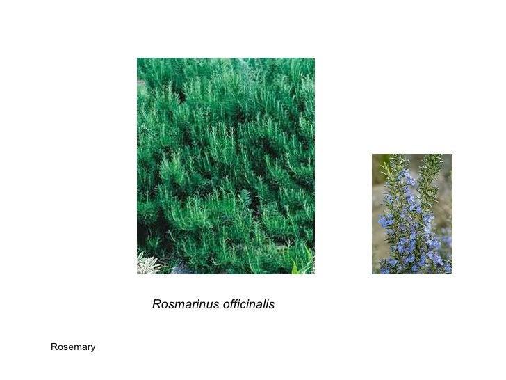Rosmarinus officinalis Rosemary