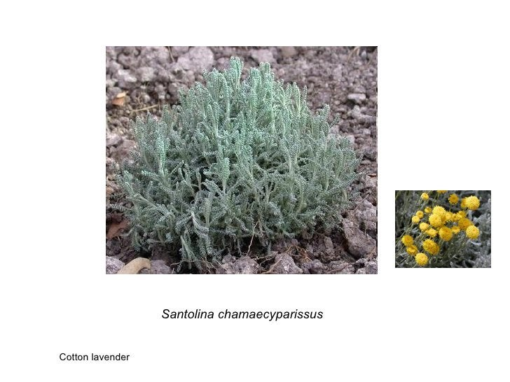 Santolina chamaecyparissus Cotton lavender