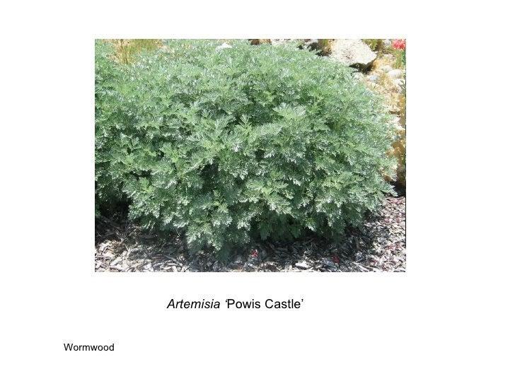Artemisia ' Powis Castle' Wormwood