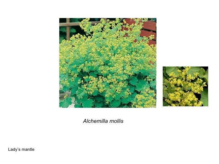 Alchemilla mollis Lady's mantle