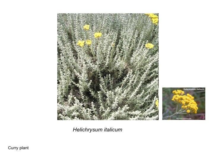 Helichrysum italicum Curry plant