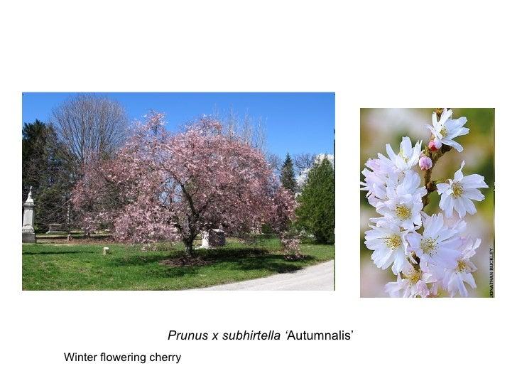 Prunus x subhirtella ' Autumnalis' Winter flowering cherry