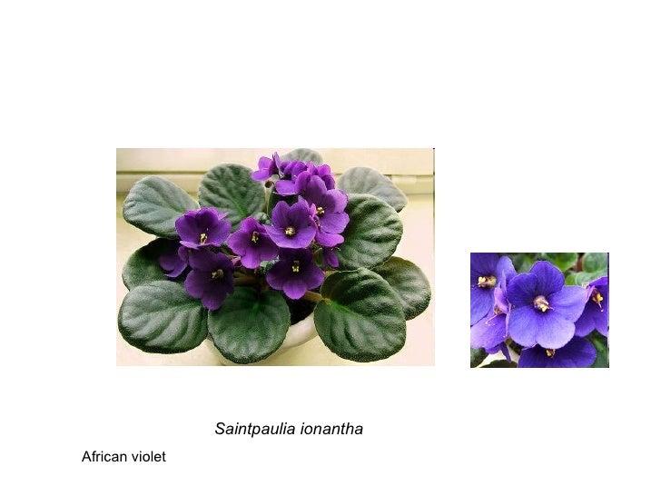 Saintpaulia ionantha African violet