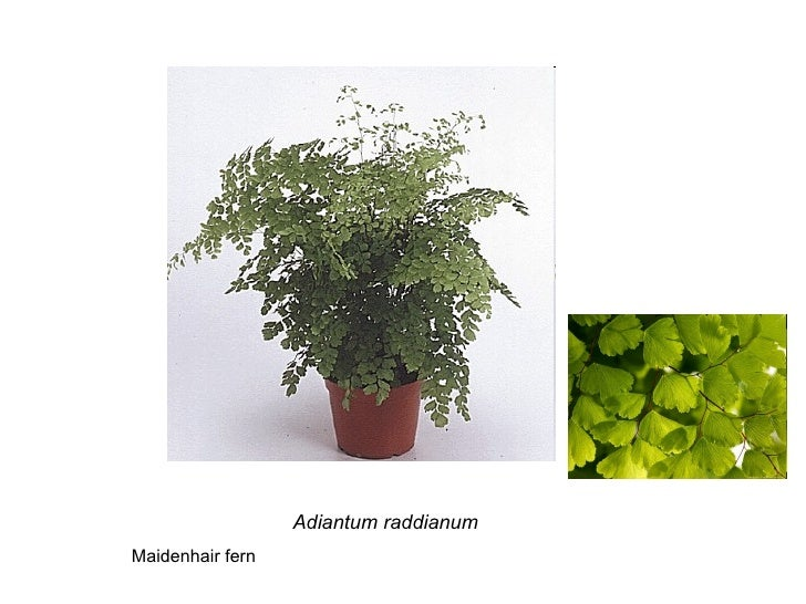 Adiantum raddianum Maidenhair fern