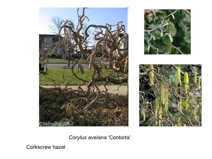 Corylus avelana  'Contorta' Corkscrew hazel