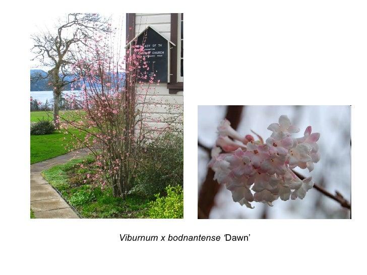 Viburnum x bodnantense ' Dawn'