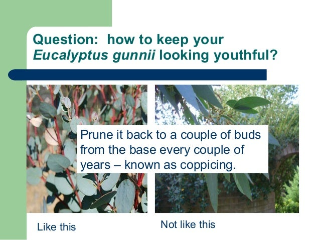 Question: how to keep your Eucalyptus gunnii looking youthful? Like this Not like this Prune it back to a couple of buds f...