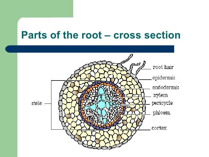 Cross Section Of A Monocot Stem Monocots Vs Dicots Corn