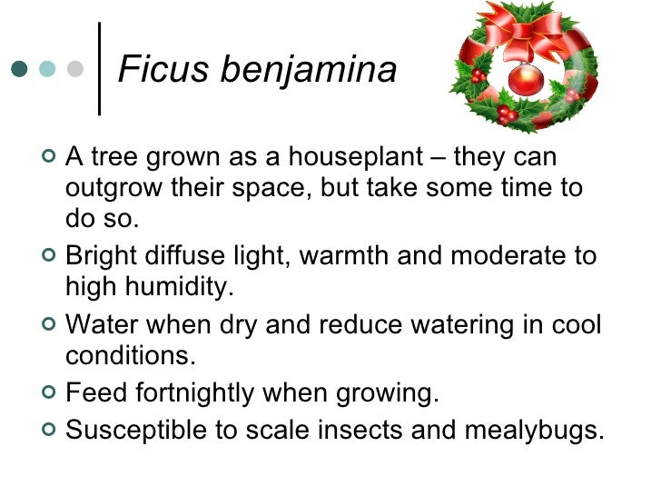 Ficus benjamina  <ul><li>A tree grown as a houseplant – they can outgrow their space, but take some time to do so. </li></...