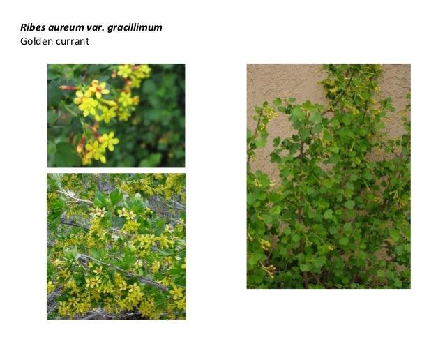 Ribes aureum var. gracillimum Golden currant