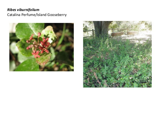 Ribes viburnifolium Catalina Perfume/Island Gooseberry