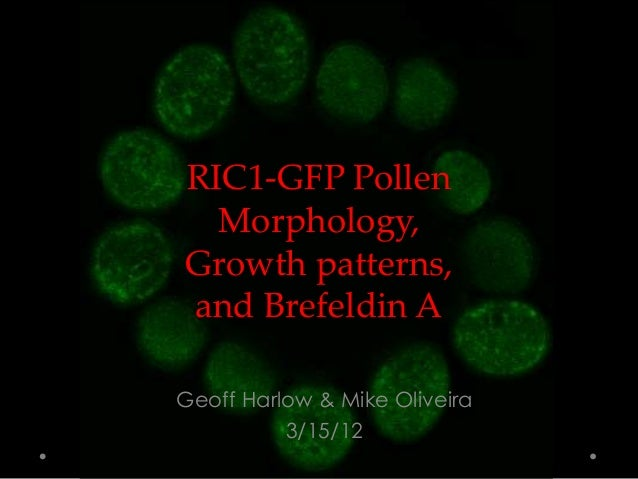 RIC1-GFP Pollen Morphology, Growth patterns, and Brefeldin A Geoff Harlow & Mike Oliveira 3/15/12