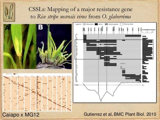 CSSLs: Mapping of a major resistance geneto Rice stripe necrosis virus from O. glaberrimaGutierrez et al, BMC Plant Biol. ...