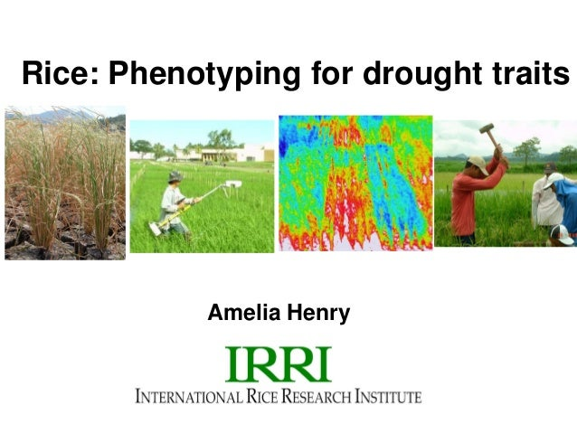 Rice: Phenotyping for drought traitsAmelia Henry