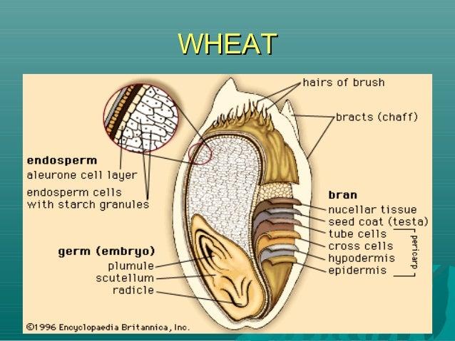 WHEATWHEAT