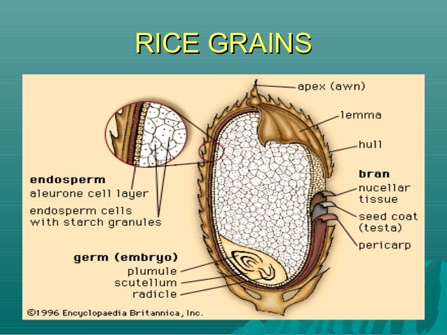 RICE GRAINSRICE GRAINS