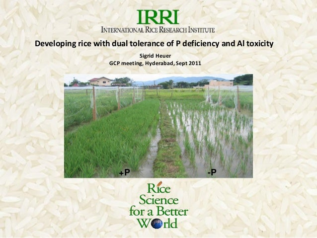 Sigrid HeuerGCP meeting, Hyderabad, Sept 2011+P -PDeveloping rice with dual tolerance of P deficiency and Al toxicity