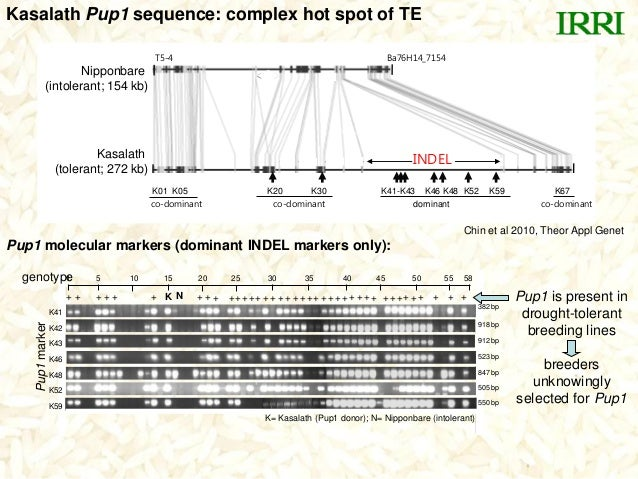 Kasalath Pup1 sequence: complex hot spot of TEPup1 molecular markers (dominant INDEL markers only):+ + + + + + K + + + +++...