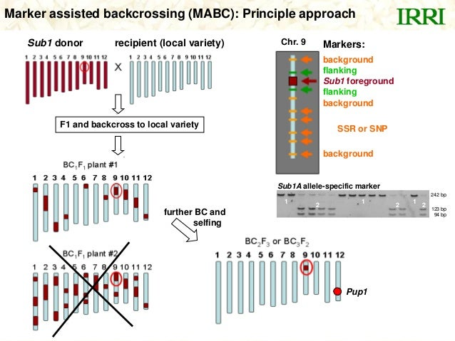 Marker assisted backcrossing (MABC): Principle approach1 2 1 12 2242 bp123 bp94 bpSub1A allele-specific markerMarkers:back...