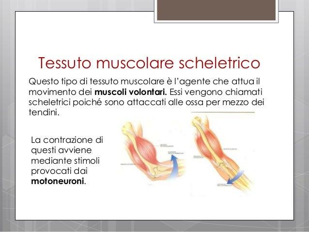 Ricerca sul tessuto muscolare - Che forma hanno le cellule dei diversi tessuti ...