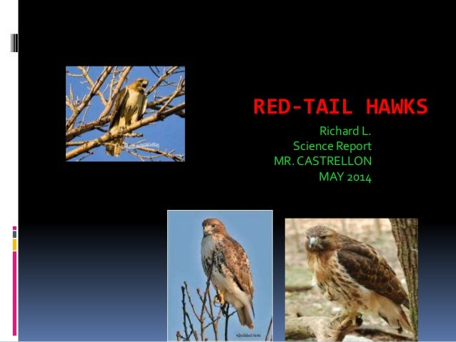 RED-TAIL HAWKS Richard L. Science Report MR. CASTRELLON MAY 2014