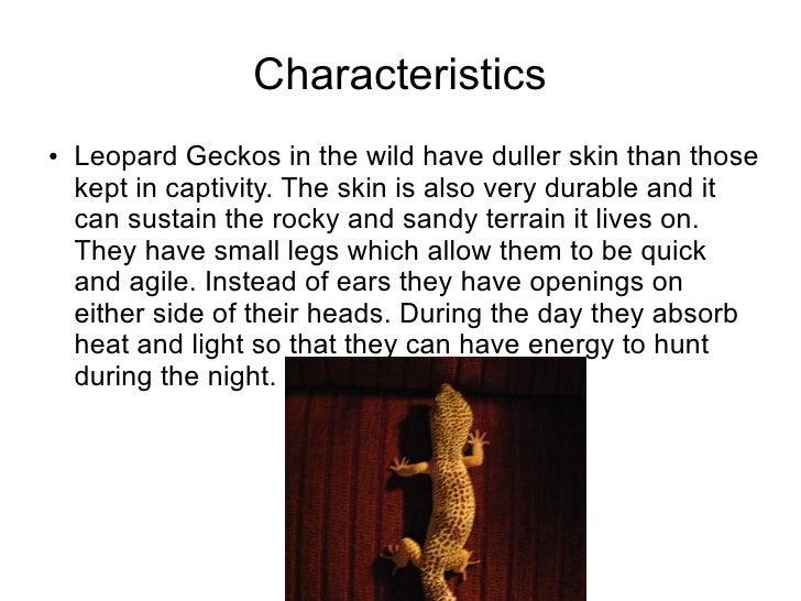 Richard P3 Term 2 Leopard Geckos