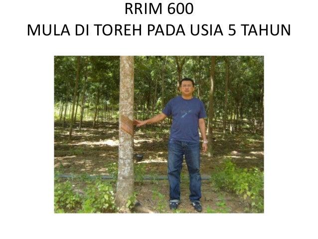 RRIM 600MULA DI TOREH PADA USIA 5 TAHUN