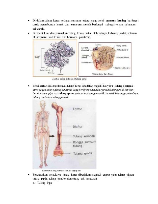 Sistem Rangka Manusia dan Hewan Slide 3